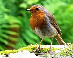 Resident robin (Stellarperception) Tags: robin erithacusrubecula