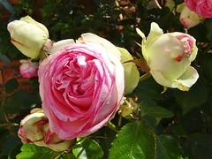 20150613h Rose Pierre de Ronsard (@bodil) Tags: pink flowers france rose fleurs normandie pierrederonsard