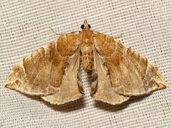 IMG_4232-3c (Ash Bradford) Tags: animal animals bug insect md flash moth maryland insects bugs lepidoptera moths arthropods animalia arthropoda arthropod hexapod insecta dcr250 raynox hexapods hexapoda img4232 yellowmoth orangemoth img4233 sx30 rgspbioblitz