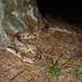 Eastern Copperhead, Foraging for Cicadas