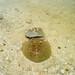 stingray Holbox island Mexico Rochen