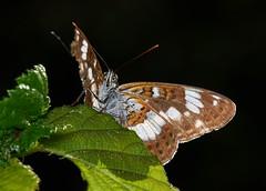 white admiral, Limenitis camilla (David_W_1971) Tags: sigmaaml butterfliesnymphalidae 45175x nt2015