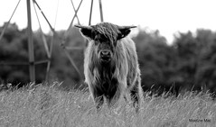Highland comb-over! (Cow) (mootzie) Tags: hairy field scotland cow over scottish highland bonnie comb