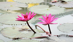 lotus flowers (jamal buanam) Tags: pink flowers trees summer flower tree green water girl beautiful beauty forest garden thailand lotusflowers