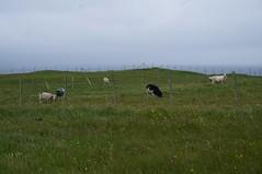 Sheep (mlcastle) Tags: faroeislands faroe froyar nlsoy