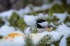 Nestled in the Pines... (mc_icedog) Tags: winnipeg manitoba canada mb chickadee bird macro winter shallow depth field tree tripod outdoors cold wildlife snow branch bokeh morning