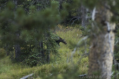"Calf Moose along Glen Creek • <a style=""font-size:0.8em;"" href=""http://www.flickr.com/photos/63501323@N07/31203779983/"" target=""_blank"">View on Flickr</a>"