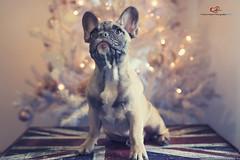 Toto' (Fiore Nino) Tags: cane bulldog francese