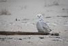 Snowy Owl (johnbacaring) Tags: nature wildlife snowyowl snowy owl newjersey jerseyshore birding raptor birdsofprey