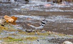 7K8A7072 (rpealit) Tags: scenery wildlife nature east hatchery hackettstown killdeer bird