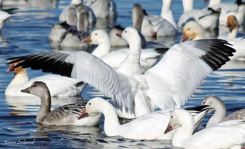 Snow Goose wingspan