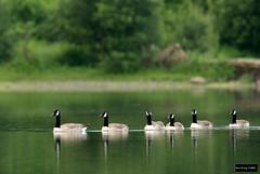 Canada Goose (Branta canadensis) (Dave 2x) Tags: brantacanadensis branta canadensis canadagoose canadageese canada goose geese keswick derwent derwentwater lake lakedistrict cumbria england uk leastconcern