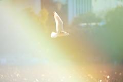 tokyo seagull UENO02 (sunuq) Tags: eos 5dsr ef70300mmf4556doisusm ef70300mm japan 東京 上野公園 不忍池 カモメ 鴎 seagull