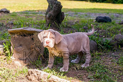 Portrait Of Purebred Neapolitan Mastiff Puppy (kalypsoworldphotography) Tags: dog puppy animal breed pet domestic pup young purebred grey wrinkles canine mastiff neapolitan cute portrait wrinkled guard neapolitanmastiff eyes defender blue love isolated pedigree protective skin gray italian instincts family frontview watching grass protection pets happy background big neo park nose outdoor molosser loyal wrinkle female calm coat confident