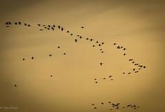 Flights of Unity (Divya Dinakar) Tags: dusk kerala formations birds flight photography travel india alleppey backwaters