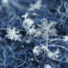 2017-01-29_09-13-56 (tpaddison1) Tags: snowflakes macro winter nature wonderment hiddenworld microscopic