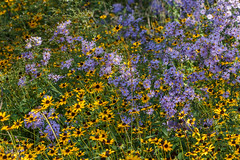 Symphyotrichum laeve (smooth blue aster) and Rudbeckia fulgida (black-eyed Susan) (tgpotterfield) Tags: mtcuba newcastlecountyde mtcubacenter symphyotrichumlaeve symphyotrichum astereae asterodae asteroideae asteraceae smoothblueaster rudbeckiafulgida rudbeckia heliantheae helianthodae blackeyedsusan hockessin delaware usa