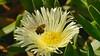 Honeybee layden with pollen (Rodger1943) Tags: bees honeybee fz1000 insects