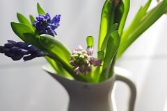 Hyacynths blooming (bluehazyjunem) Tags: tamron90f28 pentaxk70