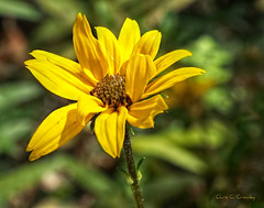 Susan without the black eye (Chris C. Crowley) Tags: susanwithouttheblackeye daisy flower blackeyedsusan floral petals yellow yellowflower botanical bokeh