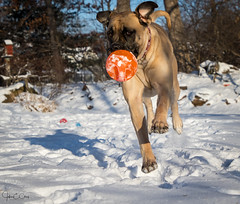 Millie taking flight (John Clay173) Tags: newengland englishmastiff millie connecticut winter jclay dog