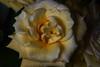 DSC_4220 Yellow Rose (PeaTJay) Tags: nikond750 reading lowerearley berkshire macro micro closeups gardens indoors nature flora fauna plants flowers bouquetofroses rose roses rosebuds