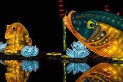 The Tale of Mr. Jeremy Fisher (Silver Machine) Tags: longleat longleatsafaripark safaripark wiltshire festivaloflight chineselanternfestival chineselanterns beatrixpotter frog trout thetaleofmrjeremyfisher fujifilm fujifilmxt10 canonfd85mmf18