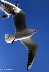 Seagull - Piran January 2017 13 (reineckefoto) Tags: seagulls piran sea blue sky bird