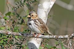 Harris's Sparrow (Alan Gutsell) Tags: harriss sparrow harrisssparrow emberizine migration texasbirds texas wildlife alan nature houston park