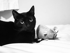 oliver and his mouse (jojoannabanana) Tags: blackandwhite blackcat canonpowershot cat monochrome mouse plush s100