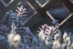 Sunny but Cold (haberlea) Tags: garden winter frost frosty cold plant shrub trellis mygarden sun sunshine icy ice leaves nature