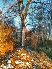 Last light shining on a huge tree (eikeblogg) Tags: tree trees nature landscape forest mobilephotography woods trunk snow eveninglight