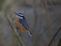 Red-breasted Nuthatch (Kremlken) Tags: nuthatches irruption pa winter birds birding crawfordcounty