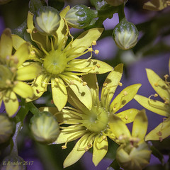 Aeonium Flower Head, #3 (Greatest Paka Photography) Tags: flora nature aeonium flowerhead aeoniumundulatus succulent rosette yellow bloom sanfrancisco bayarea
