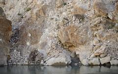 Himalayan blue sheep along the Indus river, India 2016 (reurinkjan) Tags: india 2016 ©janreurink himachalpradesh spiti kinaur ladakh kargil jammuandkashmir indusriver sengetsangpoསེང་གཙང་པོ་ pseudoisnayaur bharal himalayanbluesheep bharalbluesheeprnapoརྣ་ rnabaརྣ་བ་ himalayamountains himalayamtrange himalayas landscapepicture landscape landscapescenery mountainlandscape