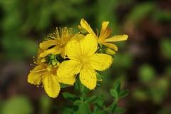 Wild Flower (Hugo von Schreck) Tags: hugovonschreck macro makro flower blume blüte wildflower wildblume luetzel hessen deutschland canoneos5dsr tamron28300mmf3563divcpzda010