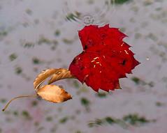 IMG_9861 float (francois f swanepoel) Tags: autumn red water leaves leaf bokeh ripple vine surface drop droplet float boke westerncape vineleaves rippleeffect