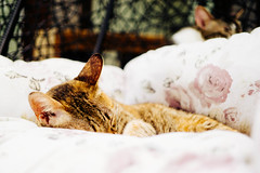 Only when I sleep (喵_比比) Tags: cat sony 宜蘭 貓 carlzeiss a6000 carlzeisstouit1832 貓極簡 touit3218 e32mmf18