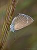 Cabeza abajo (Maite Mojica) Tags: cabeza mariposa abajo insecto espiga gramínea lycaenidae lepidóptero melanops glaucopsyche artrópodo licénido