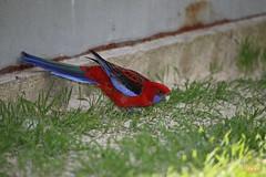 27. Pennant parrot / Попугай Пинант