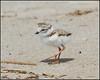 IMG_1915 Piping Plover chick (6-21-15)(border) (davidbbernstein1) Tags: bird pipingplover plumisland pipingploverchick plumislandbirds