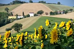(claudiophoto) Tags: italy colors canon sunflower getty fields fiori campi lemarche marcheregion paesaggiitaliani italianhills paesaggimarchigiani paesaggidellemarche campagnaitaliana fotodellemarche