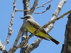 Western Kingbird - South Dakota by SpeedyJR (SpeedyJR) Tags: nature birds southdakota wildlife badlands nationalparks badlandsnationalpark westernkingbird kingbirds speedyjr 2015janicerodriguez