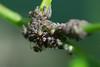 colonie de pucerons.jpg (Sylvain Bédard) Tags: nature ant insects aphid fourmi puceron commensalism commensalisme
