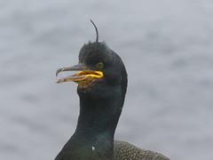 P1090458 (ianpreston) Tags: inner northumberland cormorant nationaltrust farne seabirds innerfarne farneisles