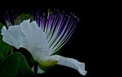 """cappero ... che fiore ("""" paolo ammannati """") Tags: 1001nights fiore paoloammannati fioredicappero"""