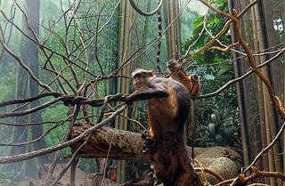 Monkey leader