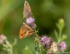 Bruin zandoogje en Oranje zandoogje. (Chantal van Breugel) Tags: macro friesland bruinzandoogje vlinder fochteloerveen canon70300 canon50d