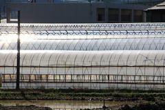 (Yorozuna / ) Tags: field japan farm greenhouse niigata hothouse nagaoka     vinylhouse