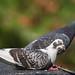 Pigeon - HSK_9954